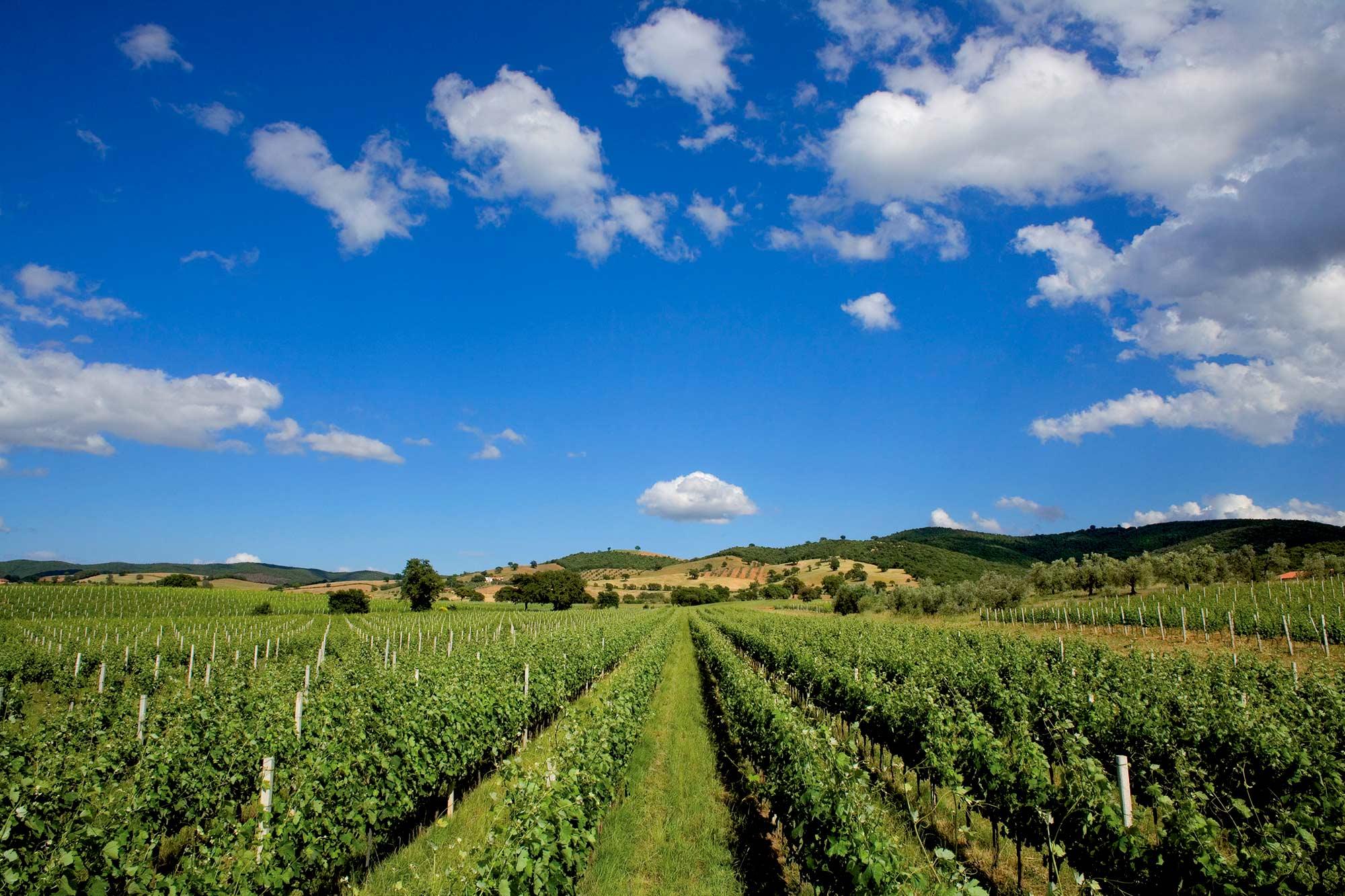 Maremma wineyard